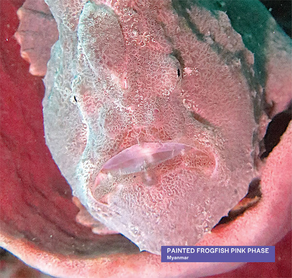 Underwater photo of painted frogfish